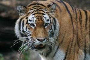 Siberian Tiger via Pixabay