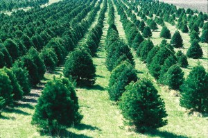 Christmas Tree farm planting trees